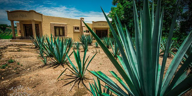 Day Trip From Puerto Vallarta To Tequila - Blue Agave Plant