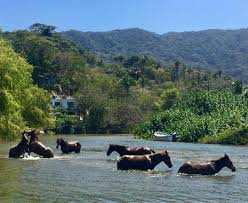 horses swiming in the river in Quimixto Mexico