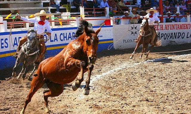 two charro horsement trying to rope a bucking bronco.