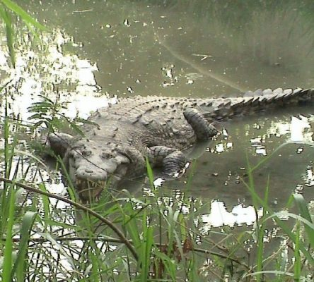 an american crocodile in the estuary reserve in puerto vallarta