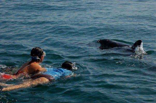 two snorkelers swiming with a dolphin in the wild in the Bay of Banderas Mexico
